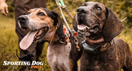 AKC: A Bit About The Hound Dog Group