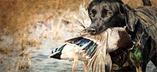 waterfowl and duck hunting retriever